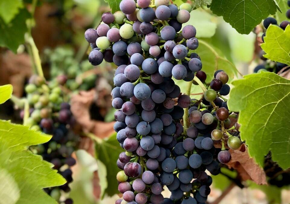 Full Veraison – Baume Tests for 2021